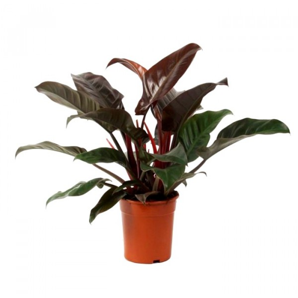 Buy Philodendron Imperial Red Philodendron Big Plant