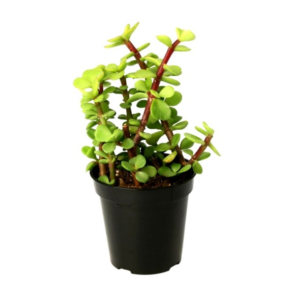 Jade Plant - Elephant Bush Plant, Portulacaria Afra Green, Lucky Plant