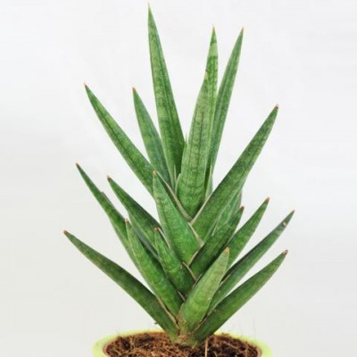 Sansevieria Francisii, Snake Plant - Mother in Law Tongue Plant