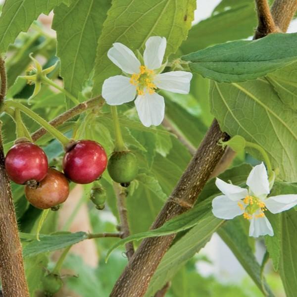 Singapore Cherry - Muntingia Calabura, Strawberry Tree Plant