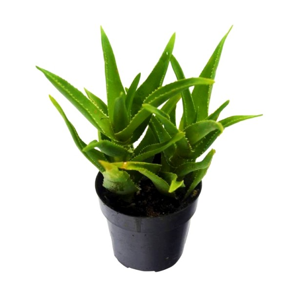 Aloe Barbadensis Succulent Plant