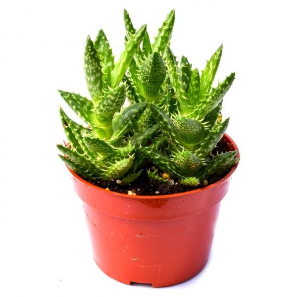 Aloe Juvenna Succulent Plant