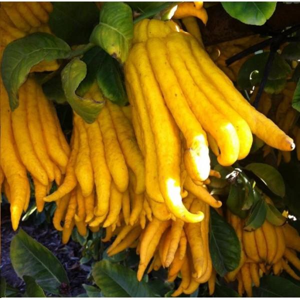 Buddhas Hand Citron - Buddha Finger Lemon, Lime, Lemon Plant, Citrus Medica