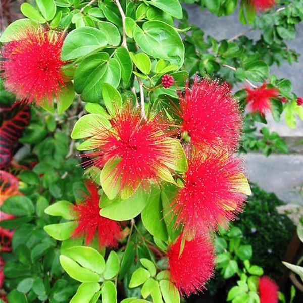 Powder Puff Plant - Calliandra Emarginata Red