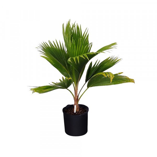 Champagne Palm - Hyophorbe Indica