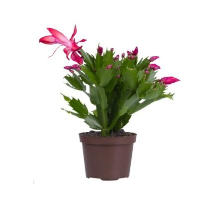 Christmas Cactus - Schlumbergera Cultivars, Crab Cactus Plant