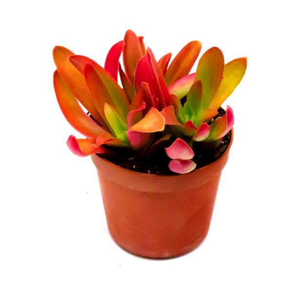 Crassula Erosula Succulent Plant