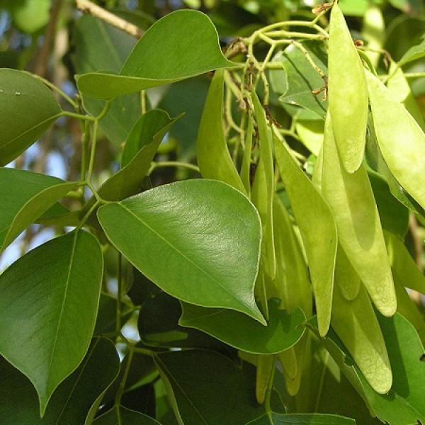 Shisham Plant - Dalbergia Sissoo, Indian Rosewood, Sheesham Plant