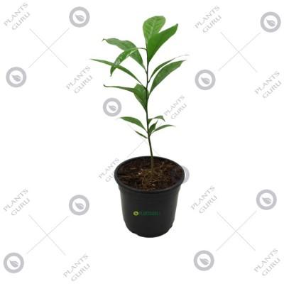 Hirwa Chafa Plant, Hari Champa, Artabotrys odorattisimus