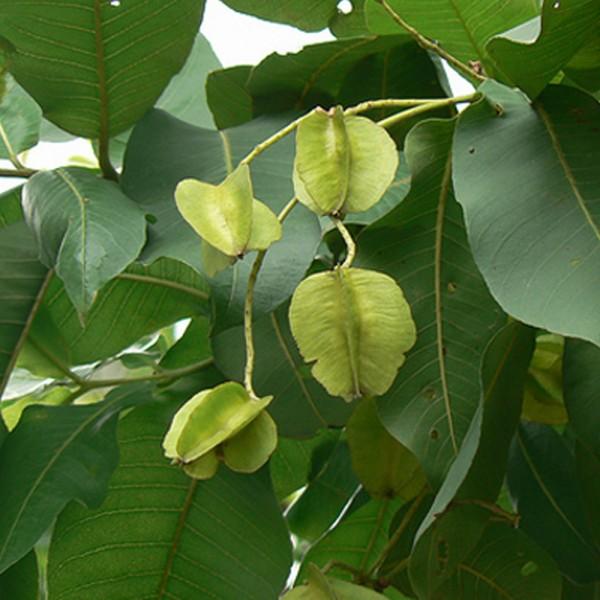 Holoptelea Integrifolia - Vavla, Wawal, Monkey Biscuit, Papdi