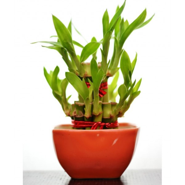 2 Layer Lucky Bamboo  with Ceramic Pot