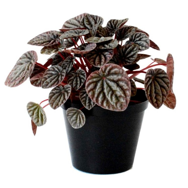 Peperomia Black Plant - Peperomia Caperata, Red Riple Peperomia