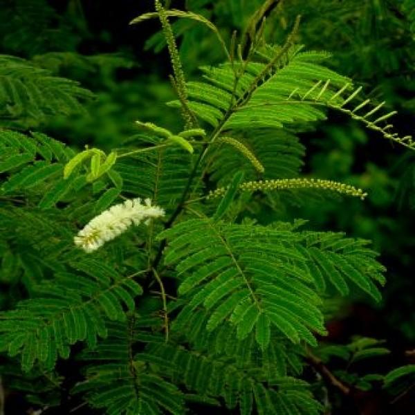 Acacia Catechu - Khair, Kher, Senegalia Catechu