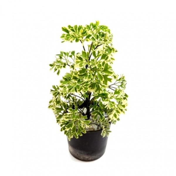 Arelia Miniature White - Aralia Plant