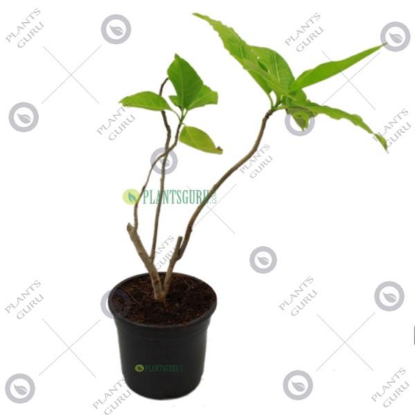 Pisonia Grandis Plant
