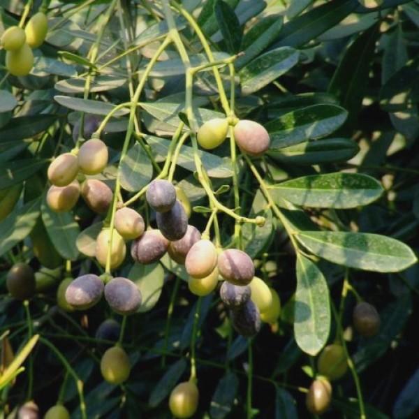 Laxmitaru Plant - Simarouba Glauca, Paradise Tree, Bitterwood
