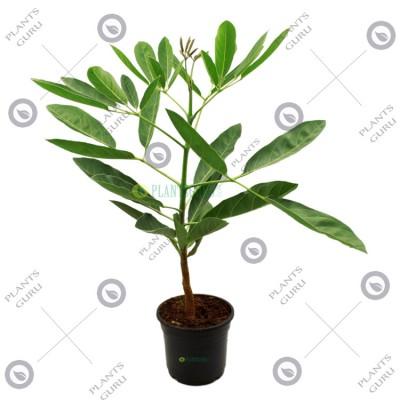 Tabebuia Argentea Plant