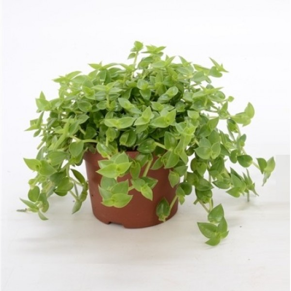 Turtle Vine Green Plant - Callisia Repens with hanging basket