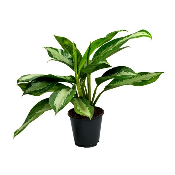 Aglaonema White Mix - Chinese Evergreen