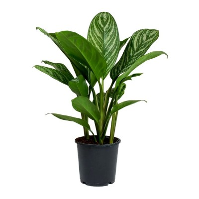 Aglaonema Silver Queen Plant  - Chinese Evergreen, Aglaonema Stripes