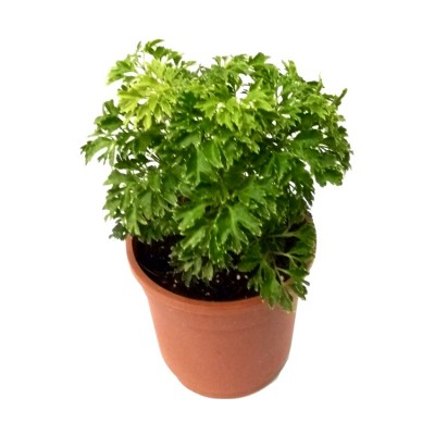 Arelia Ming - Aralia Oak Leaf Plant
