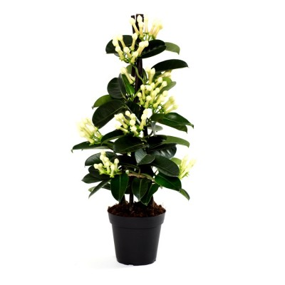 Madagascar Jasmine Plant, Stephanotis floribunda, Bridal Bouquet, Wax flower