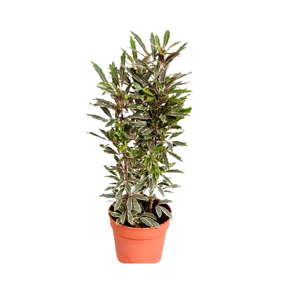 Arelia Black - Aralia Plant