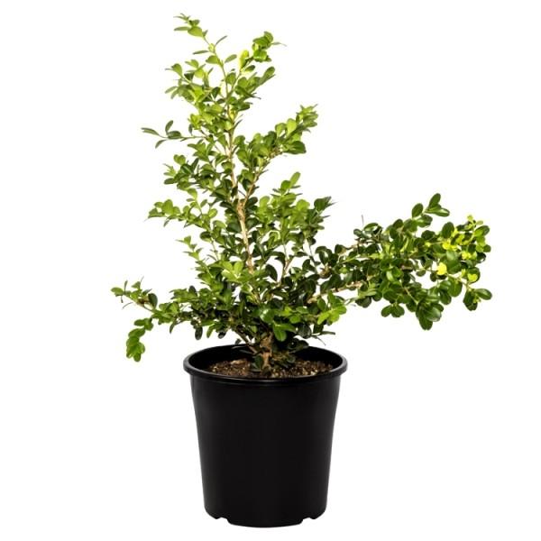 Boxwood Plant - Buxus Microphylla, Buxus Rotundifolia
