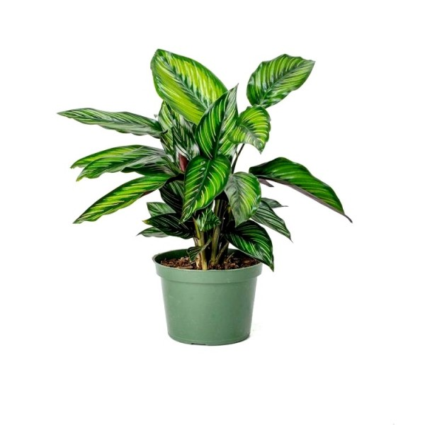 Marantha Beauty Star Plant - Maranta, Calathea Beauty Star
