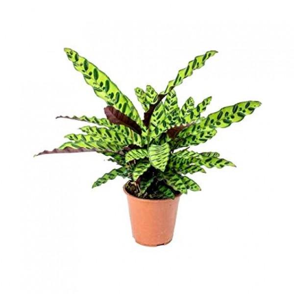 Marantha Lancifolia Plant - Maranta, Calathea Lancifolia