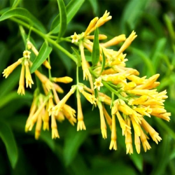 Cestrum Nocturnum Plant - Yellow Raat Rani