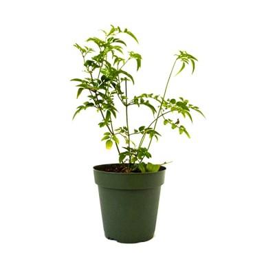 Chameli Plant