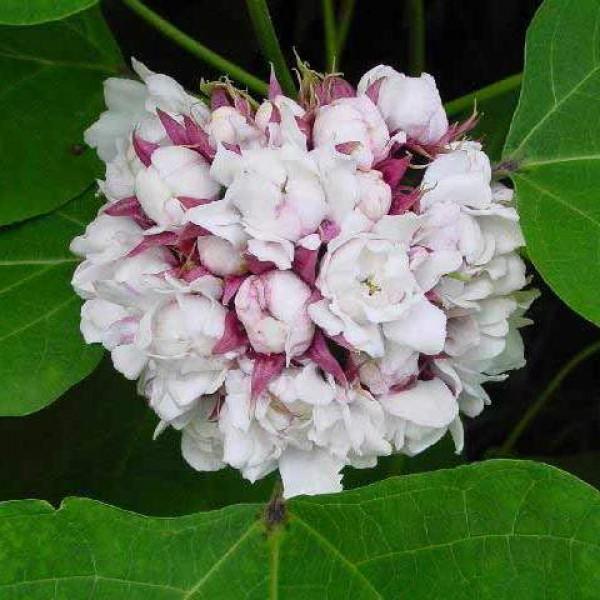 Clerodendrum Chinense - Hazari Mogra Plant