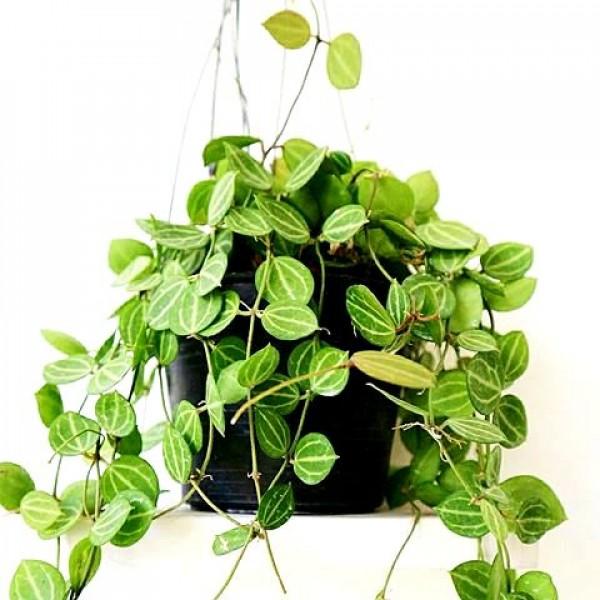 Hoya Watermelon Plant - Dischidia Ovata