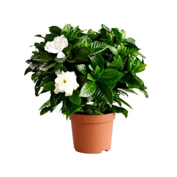 Gardenia - Ananta Plant