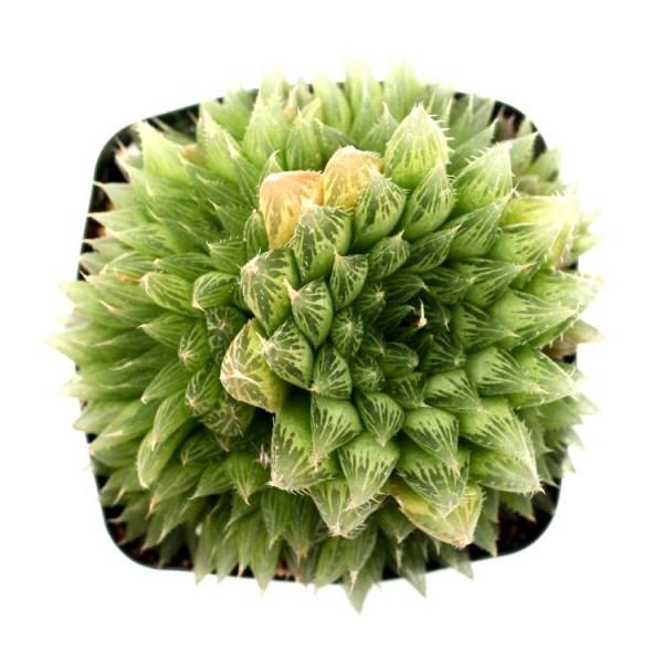 Haworthia Cooperi Star Succulent Plant
