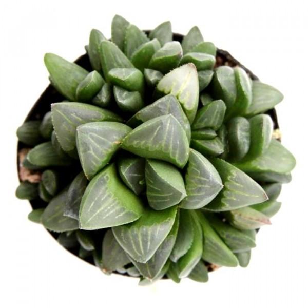 Haworthia Retusa Succulent Plant