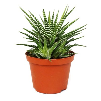 Haworthia Reinwardtii Plant - Haworthia Zebra