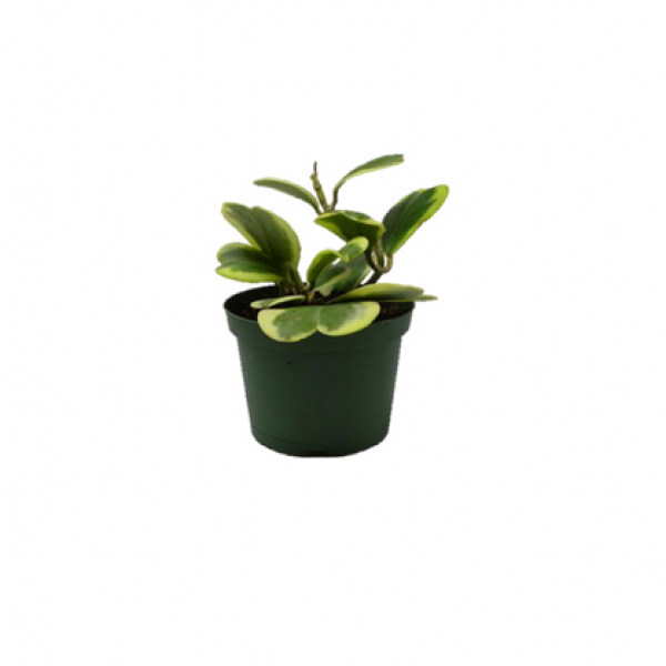Hoya Kerrii Variegata - Heart Shape Creeper Plant