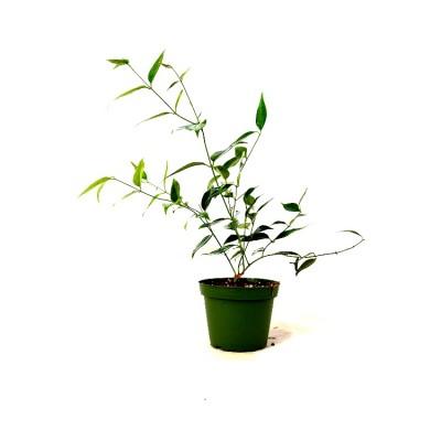 Jai Plant