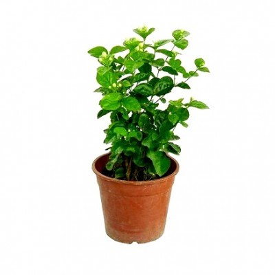 Arabian Jasmine - Mogra Double Plant