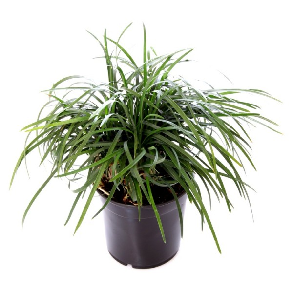 Monda Grass Plant - Monkey Grass