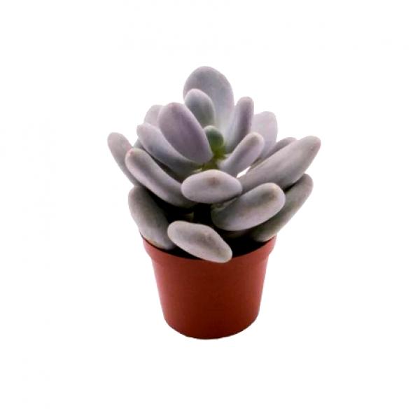 Pachyphytum Bracteosum - Moonstone Succulent, Silver Foliage Succulent