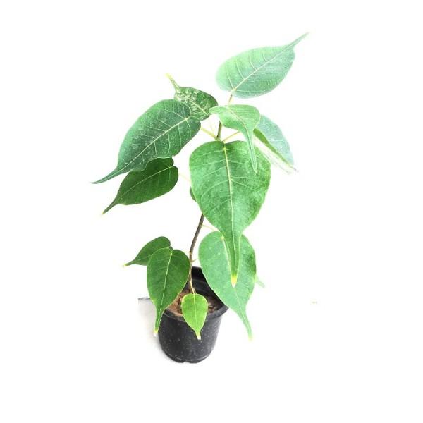 Peepal Tree - Ficus Religiosa, Sacred Fig Plant