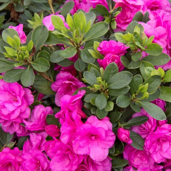 Azalea Pink Plant