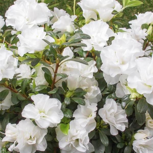 Azalea White Plant