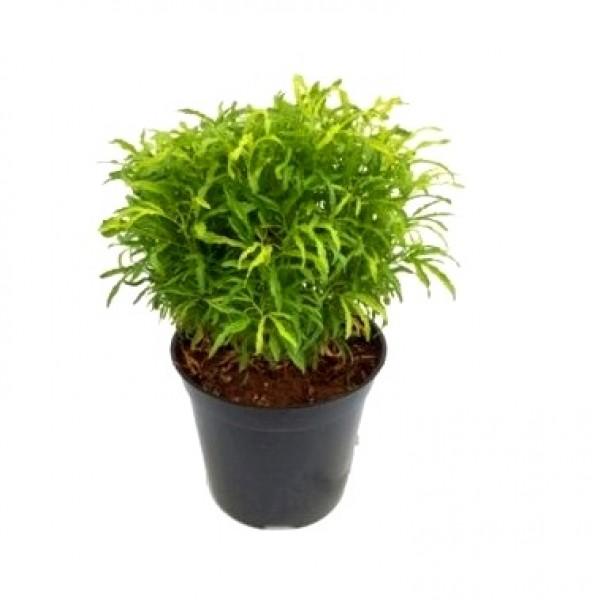 Arelia Green - Aralia Plant, Aralia Golden