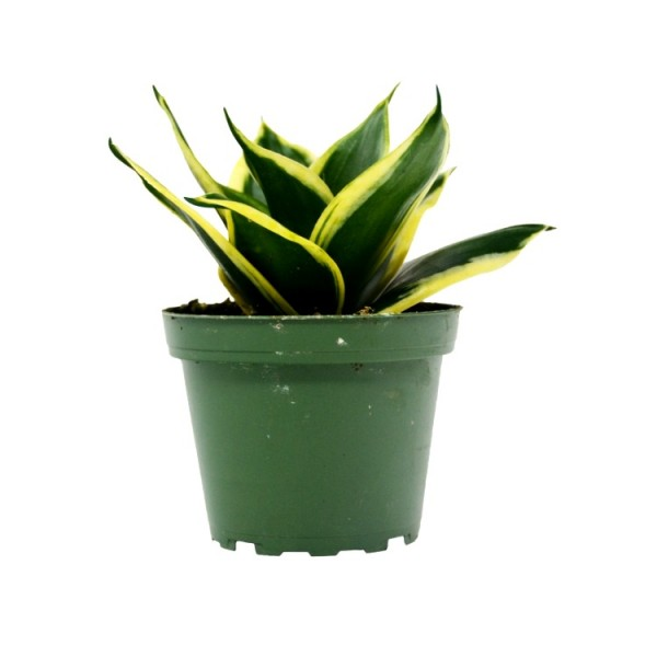 Sansevieria Trifasciata Small, Snake Plant - Mother in Law Tongue Plant