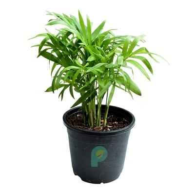 Bamboo Palm Plant - Chamaedorea Elegans