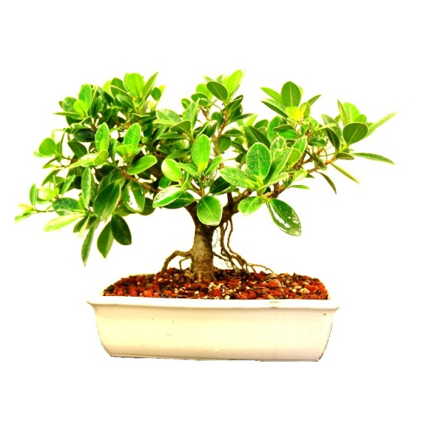Ficus Iland Dwarf Bonsai - 5 Years